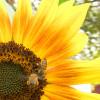 """La Agencia Ambiental de EE.UU. determinó que el insecticida imidacloprid """"presenta riesgos para las abejas"""""""