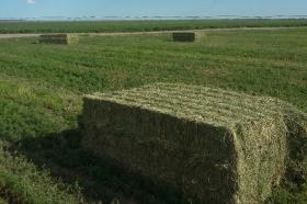 La demanda de fardos de alfalfa de Arabia Saudita va camino a registrar un crecimiento explosivo: una oportunidad para la Argentina (si la sabe aprovechar)