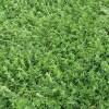 El ingreso de semillas de alfalfa cayó un 35% por el aumento de los costos de importación: prevalecieron compras de grupos largos