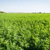 Argentina autorizó la siembra de alfalfa tolerante a glifosato con contenido reducido de lignina
