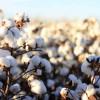 "Argentina autorizó un evento de algodón resistente a ""lagarta rosada"""