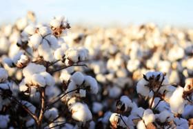 """Argentina aprobó el algodón tolerante a glifosato y herbicidas inhibidores de la HPPD: """"No se prevé un lanzamiento comercial en el corto plazo"""""""