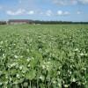 El precio de exportación de la arveja cayó casi 37%: los que vendieron en cosecha hicieron el mejor negocio