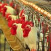 En la zona núcleo avícola el maíz 2015/16 es mucho más seguro que la soja: la principal limitante del cereal es la falta de liquidez