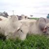 Brasil: prohíben las ivermectinas de larga duración para asegurar la calidad de las exportaciones de carne bovina