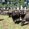 """La crisis lechera como oportunidad: """"Tenemos la ilusión de que en el futuro se pueda armar una cuenca de búfalas"""""""