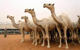 Los ingresos de divisas generados por la cebada forrajera cayeron 40%: un negocio demasiado dependiente de la demanda musulmana