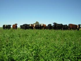 Los alquileres ganaderos en la zona pampeana se mantienen en kilos de novillo