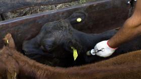 Excluyeron a las caravanas para identificación animal de la lista de productos tecnológicos con desgravación arancelaria