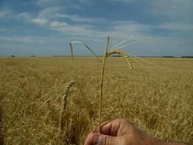 El mundo del revés: se llevan vendidas cinco veces más partidas 2012/13 de cebada que de trigo