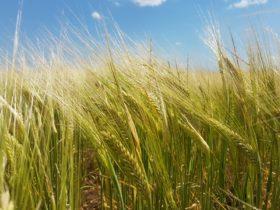 Locura geopolítica: en la Argentina la cebada forrajera vale casi tanto como el trigo