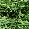 Subsidio oficial: el FAS teórico de la cebada forrajera supera los 230 u$s/tonelada
