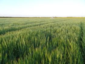 Se destruyeron los precios de la cebada: sólo una súper cosecha puede salvar al cultivo del desastre