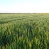 Lo que faltaba para dejar fuera de competencia al trigo: ofrecen contratos de cebada cervecera con un precio de 160 u$s/tonelada