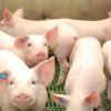 En lo que va del año ingresaron 1185 toneladas de carne de cerdo danesa: los patagónicos podrán comenzar a consumir el producto argentino