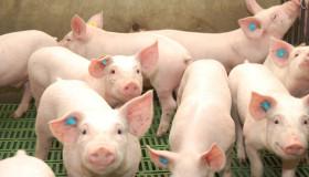 Nuevo corralito contra la evasión cárnica: crean un Registro de Operadores de la Cadena Porcina