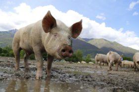 Desastre: se derrumba el consumo de maíz en China por el impacto de la fiebre porcina africana