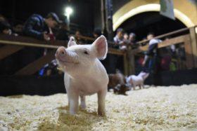 Este año no habrá cerdos en la Expo Rural de Palermo para evitar el riesgo de introducción de la fiebre porcina africana en territorio argentino