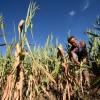 China tendrá la mayor caída de producción de maíz de los últimos quince años: el último informe del USDA preveía una mayor oferta