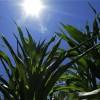 Combo alcista para el maíz: ola de calor en la zona núcleo estadounidense con perspectiva de derrumbe de stocks