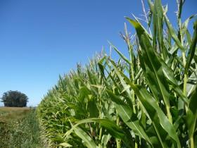 El negocio de la exportación de híbridos de maíz creció un 35% en el primer tramo del año