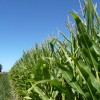 Poca oferta con alta demanda: el precio promedio de exportación de híbridos de maíz creció un 40%