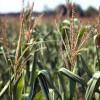 El maíz sigue rostizándose en EE.UU: esperan temperaturas extremas para el Día de la Independencia