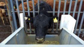 Finalizó el primer trabajo de investigación argentino con balanzas digitales para identificar bovinos con mejores eficiencias de conversión