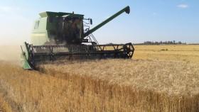 Sorpresa cero: los precios del trigo se hicieron puré con exportadores sobrecomprados en plena cosecha