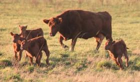 La producción de soja se despide de las zonas extrapampeanas: el área abandonada por la oleaginosa regresará a la ganadería