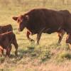 Los criadores creen que el futuro será mejor: el proceso de retención de vientres bovinos cumplió un año