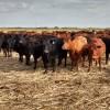 Por la falta de lluvias en zonas ganaderas clave se pinchó el precio de la vaca gorda a pesar del valor récord de la carne exportada a China