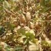 Repuntan los precios de exportación del garbanzo: se espera un recorte importante de la cosecha por los excesos hídricos