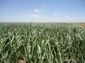 En lo que va del año se registraron exportaciones de 37.000 toneladas de híbridos de maíz por un valor promedio de 4,39 u$s/kg