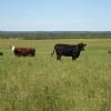Valor desagregado: en lo que va del año las exportaciones argentinas de menudencias bovinas superaron a la de cortes frescos por más de 2400 toneladas