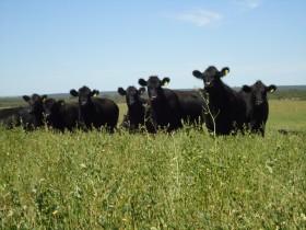 Tibia recuperación del stock bovino: al ritmo actual habrá que esperar hasta 2016 para tener la misma cantidad de hacienda que en 2008