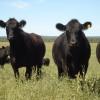 En lo que va del año Argentina vendió a Rusia lenguas bovinas a un valor de 5,4 u$s/kg: Japón paga a los chilenos un 25% más