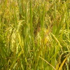 Fondo rotatorio para productores arroceros: un plan de ayuda oficial inexistente por partida doble