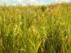 El gobierno eliminó la retención al arroz no parbolizado sin pulir: los representantes del sector habían solicitado la medida en febrero de 2014