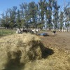 Uruguay: el precio de la leche recibido por los tamberos cayó al nivel más bajo desde diciembre de 2010