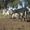 Tambos uruguayos CREA lograron un ingreso bruto récord de 600 u$s/ha en el ejercicio 2011/12