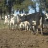 La devaluación comenzó a erosionar el precio relativo de la leche: para compensar la suba del maíz se necesitan 3,0 $/litro en marzo