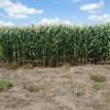Las exportaciones argentinas de híbridos de maíz crecieron más de un 170%: un negocio con una retención del 3%