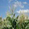 Récord histórico: en lo que va de 2013 ya se registraron exportaciones de híbridos de maíz por un valor 35% superior al de todo el año pasado