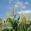 """Alerta comercial: el maíz temprano es el próximo candidato para integrar el programa de """"precios cuidados"""""""