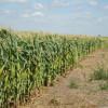 El uso de maíz RR ya se extiende por todas las regiones productivas: un factor adicional para promover las malezas resistentes a glifosato
