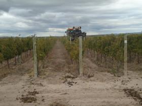 Mendoza: la situación de los productores sigue siendo crítica a pesar de que los precios de las uvas se duplicaron