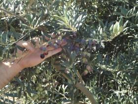 Argentina no pudo aprovechar la recuperación de los precios internacionales del aceite de oliva por falta de oferta