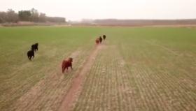 Nueva funcionalidad de los drones: arreo remoto de animales que invaden campos ajenos