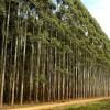 Gol mundial de Brasil: un equipo internacional integrado por Embrapa logró secuenciar el genoma completo del eucaliptus